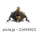 ペルー産ヘラクレオオカブト♂亜種リッキー 21649923