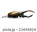 ペルー産ヘラクレオオカブト♂亜種リッキー 21649924