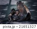 さる サル 猿の写真 21651327
