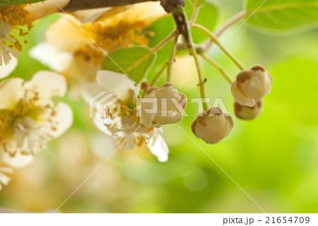 キウイフルーツ(花・つぼみ) 21654709