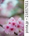 陽光ザクラ perming M  季節の花写真素材 21657021