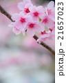 陽光ザクラ perming M  季節の花写真素材 21657023