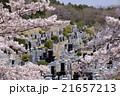 墓地に咲く桜  21657213