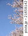 桜吹雪 花吹雪 桜の写真 21658142