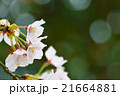 満開のソメイヨシノクローズアップ perming  M 季節の花写真素材 21664881