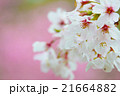 満開のソメイヨシノクローズアップ perming  M 季節の花写真素材 21664882