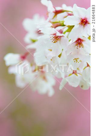 満開のソメイヨシノクローズアップ perming  M 季節の花写真素材 21664883