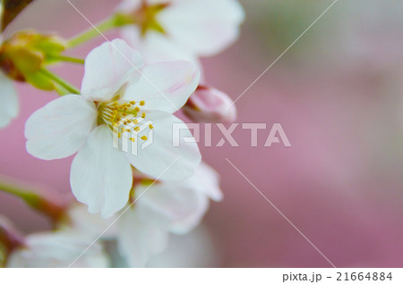 満開のソメイヨシノクローズアップ perming  M 季節の花写真素材 21664884