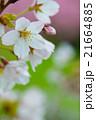 満開のソメイヨシノクローズアップ perming  M 季節の花写真素材 21664885