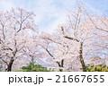 東京ミッドタウンの桜並木 21667655