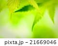 Cannabis leafs, defocused abstract shot. 21669046
