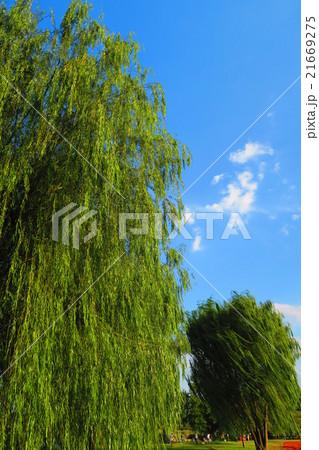 東京都足立区の都立舎人公園のしだれ柳の木と青空と白雲 21669275