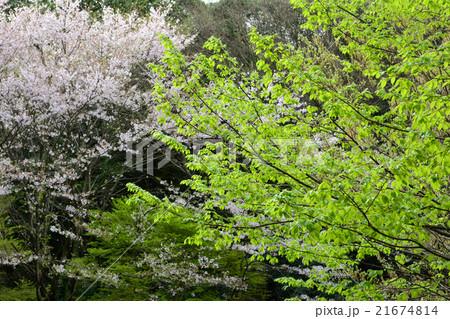新緑と桜 21674814