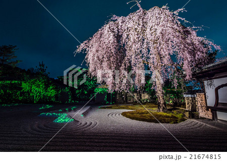 高台寺夜桜ライトアップ 21674815