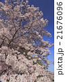 快晴の青空の下満開の桜を楽しむ 21676096