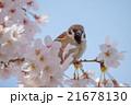桜と雀 21678130