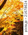 高尾山の紅葉 21678624