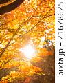 高尾山の紅葉 21678625