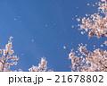 桜 桜吹雪 花びらの写真 21678802