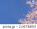 桜 桜吹雪 花びらの写真 21678803