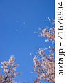桜 桜吹雪 花びらの写真 21678804