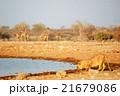 野生動物 ライオン 水場の写真 21679086