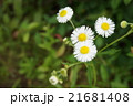 花 ハルジオン 野草の写真 21681408