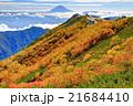 南アルプス・薬師岳のダケカンバの黄葉と富士山 21684410