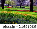 チューリップ 花 植物の写真 21691086