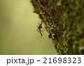 トワダオオカ 21698323