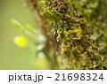 トワダオオカ 21698324