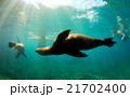 Sea lions swimming around snorkelers underwater  21702400
