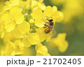 みつばち 菜の花 21702405