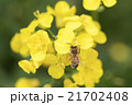 みつばち 菜の花 21702408