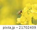 みつばち 菜の花 21702409