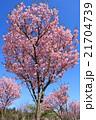 桜(ベニユタカ) 21704739