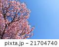 桜(ベニユタカ) 21704740