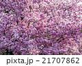 整片的粉紅櫻花樹 21707862