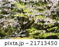 葉桜 21713450