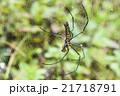 クモ 蜘蛛 スパイダーの写真 21718791