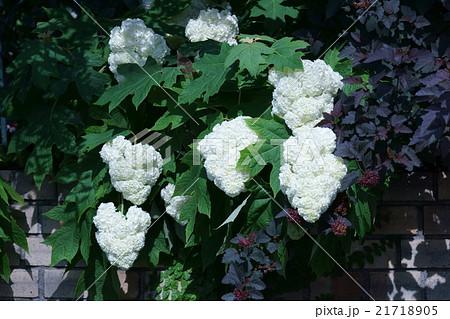 柏葉紫陽花カシワバアジサイ 花言葉は「汚れなき心」 21718905