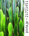 サボテン 柱サボテン 叢生の写真 21721451