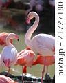 動物 フラミンゴ 鳥の写真 21727180