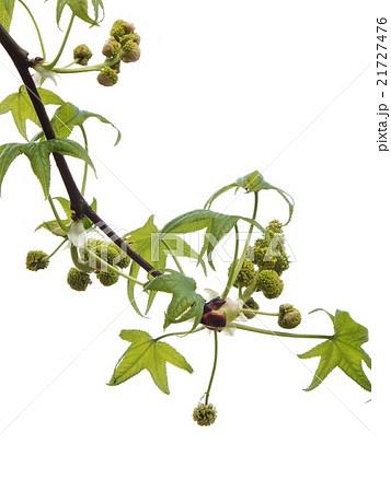 爽やかなモミジバフウの花(雄花、雌花)3/3の写真素材 [21727476] - PIXTA