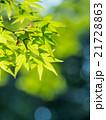 新緑のイロハモミジ 21728863