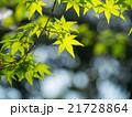 新緑のイロハモミジ 21728864