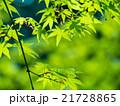 新緑のイロハモミジ 21728865