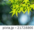 新緑のイロハモミジ 21728866