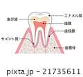 歯の構造 名称 21735611