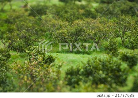 新緑, みかんの木の背景 21737638